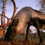 絶滅危惧種に指定されたトナカイ(C)Staffan Widstrand_WWF